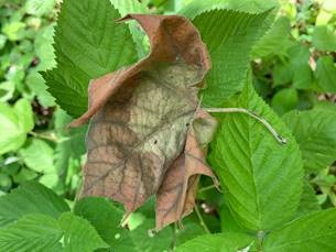 crinkly sycamore leaf