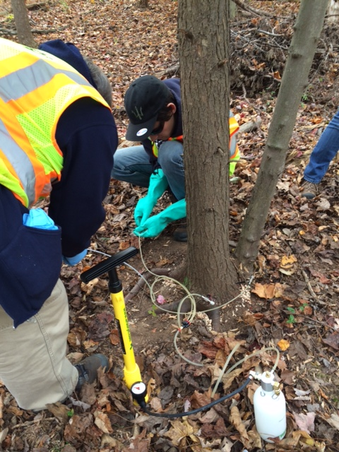 Urban foresters inject a hemlock sapling with insecticide.