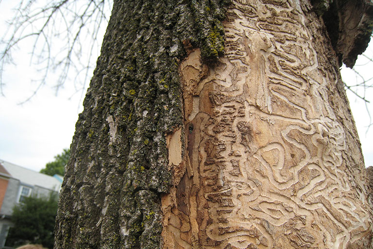 Emerald Ash Borer in Fairfax County