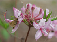 A pinxterbloom azalea is a beautiful native addition to your landscape.