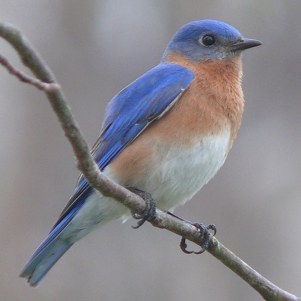 Eastern Bluebirds A Story Of Successful Conservation Northern