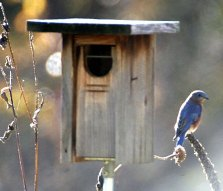 Bluebird at a bluebird box
