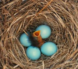 Bluebird hatchlings