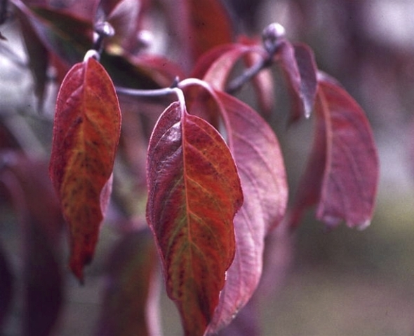 Flowering dogwood leaves in the fall. Credit: The Dow Gardens Archive, Midland, MI.