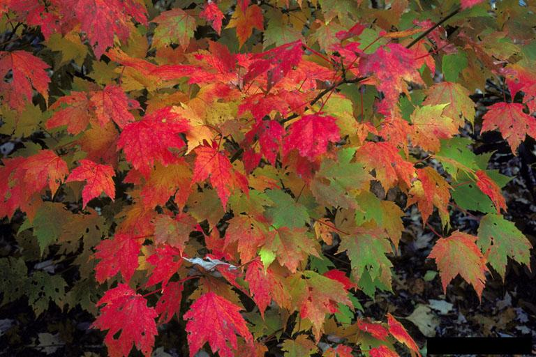 Maple. Credit: Robert L. Anderson, USDA Forest Service.