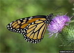 A monarch butterfly gets nectar from a thistle
