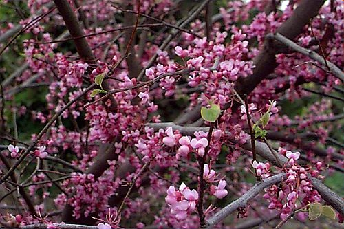 Redbud tree blossoms