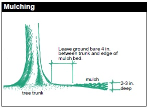 Mulching is a good technique that helps you to maintain the quality of your soil, preventing erosion and reducing weeds. Leave ground bare 4 in between trunk and mulch bed. Mulch bed should be 2-3 in deep.