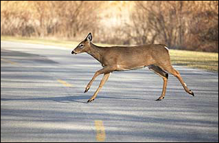 Why is there a Deer Management Program in Fairfax County? | Wildlife